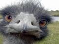 ostrich-face_113665-1920x1200