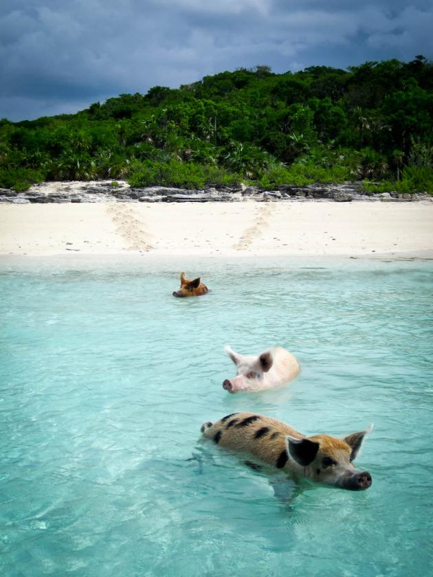 Big Island Wild Pig With Cavatelli Recipe — Dishmaps