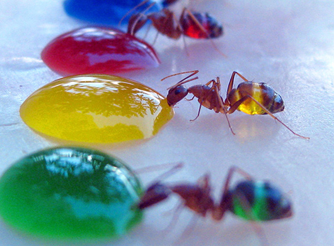 ants_colored_water_01